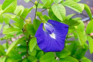 Этапы производства синего чая из Тайланда