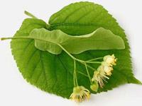 чай из липового цвета лечебные свойства и противопоказания