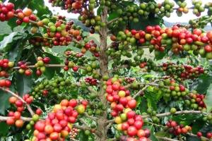 По типу кофейного дерева