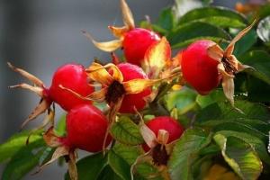 Сорт Яблочный