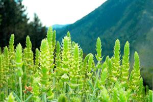 Мурсальский чай на болгарских склонах гор
