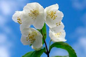 полезные свойства чая из цветов жасмина