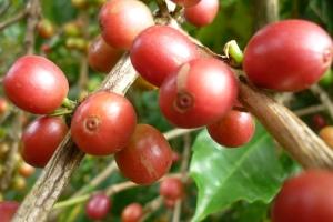 где выращивается кофе в мире