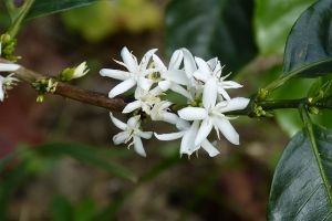цветение и созревание комнатной арабики