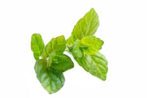 виды и сорта мяты для чая