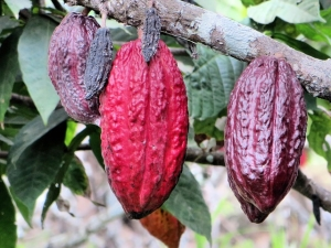 где и как растут какао-бобы